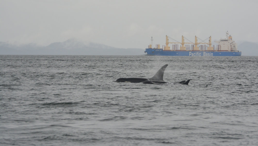 A rainy, grey day in the Strait with some transient orca. Photo by M Campbell and J Clyburn.