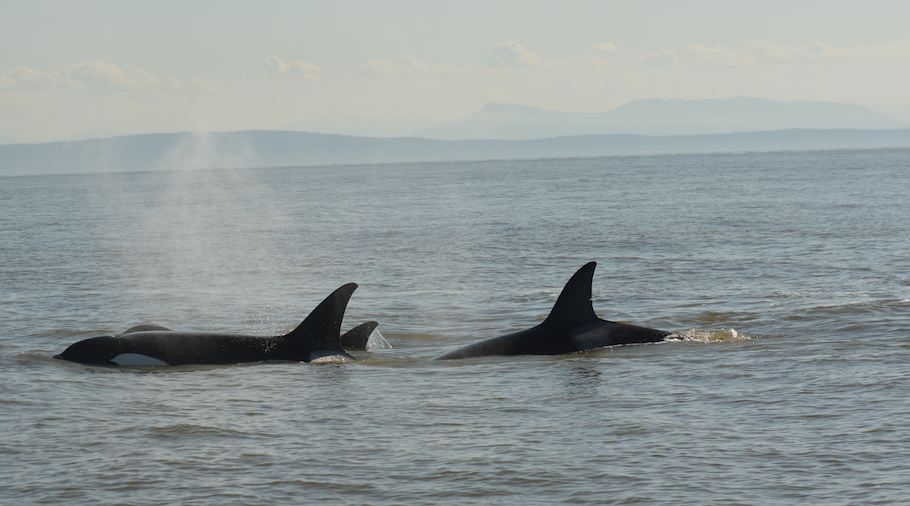 Coming up for some air during a hunt! T36A1 surfaces behind what appears to be T123. Photo by Lili Simon