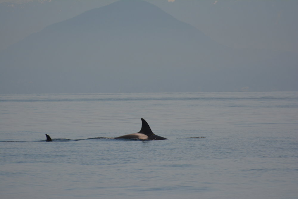 Mother Leland, T36A, swimming ahead of one of her offspring. Photo by Val Watson.