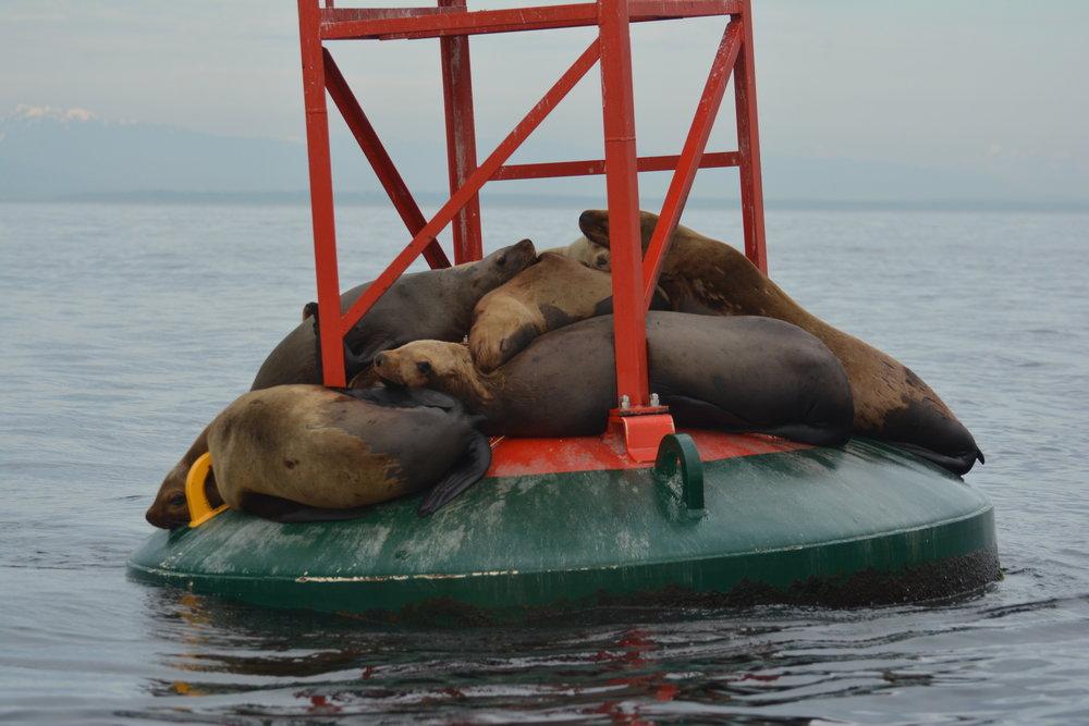 Steller sea lions huddled up on a buoy near Entrance island. Photo by Alanna Vivani