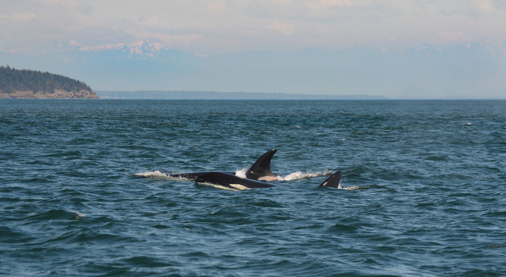 An orca breaking the surface on a beautiful Saturday afternoon. Photo by James Clyburn