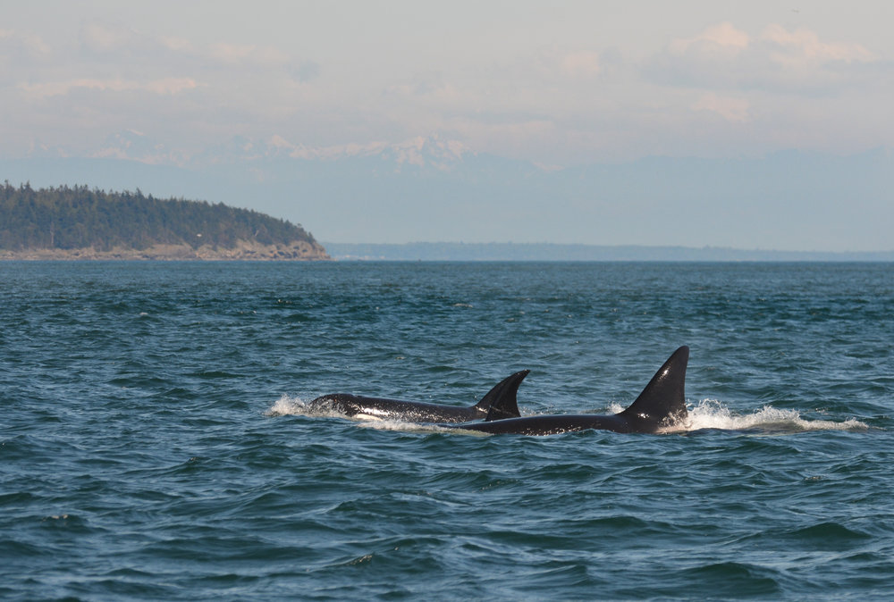 We identify individual orcas by looking at the shape of their fins and the scarring on their saddle patches (the white area behind the fin). Photo by James Clyburn