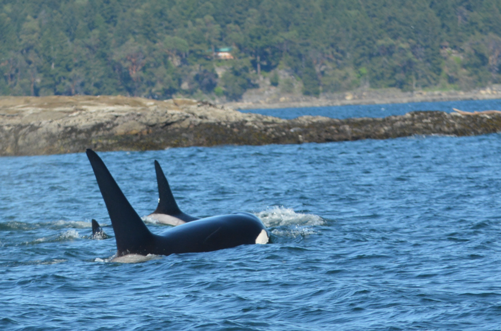 Three out of four T101 family members surfacing in the sunny Gulf Islands archipelago. Photo by Val Watson