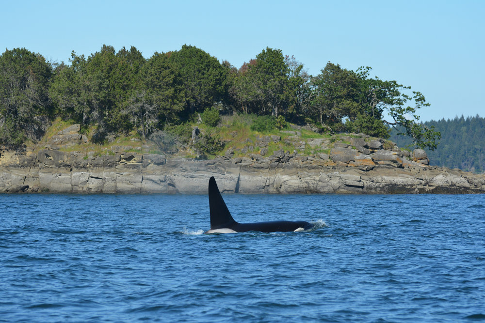 T102 is a 34 year-old male, and like most male transient orcas, he will probably travel with his mother T101 for her entire life. Photo by Val Watson
