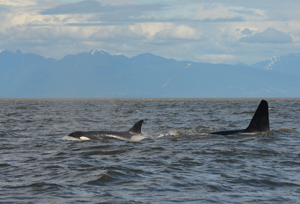 Beautiufl weather, beautiful whales. May 9th was a great day to be on the water. Photo by Val Watson