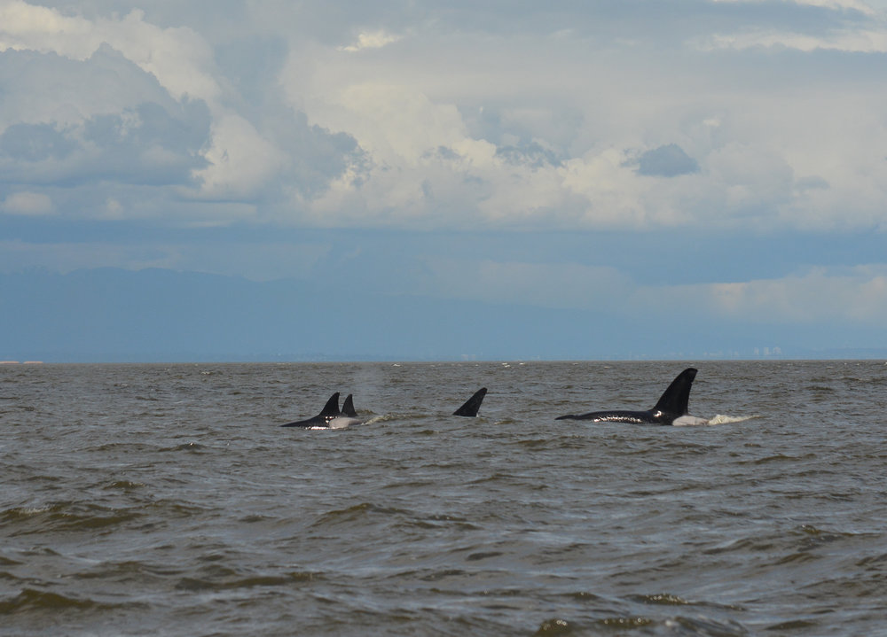 Females leading the pod around the Strait on May 9th. Photo by Val Watson