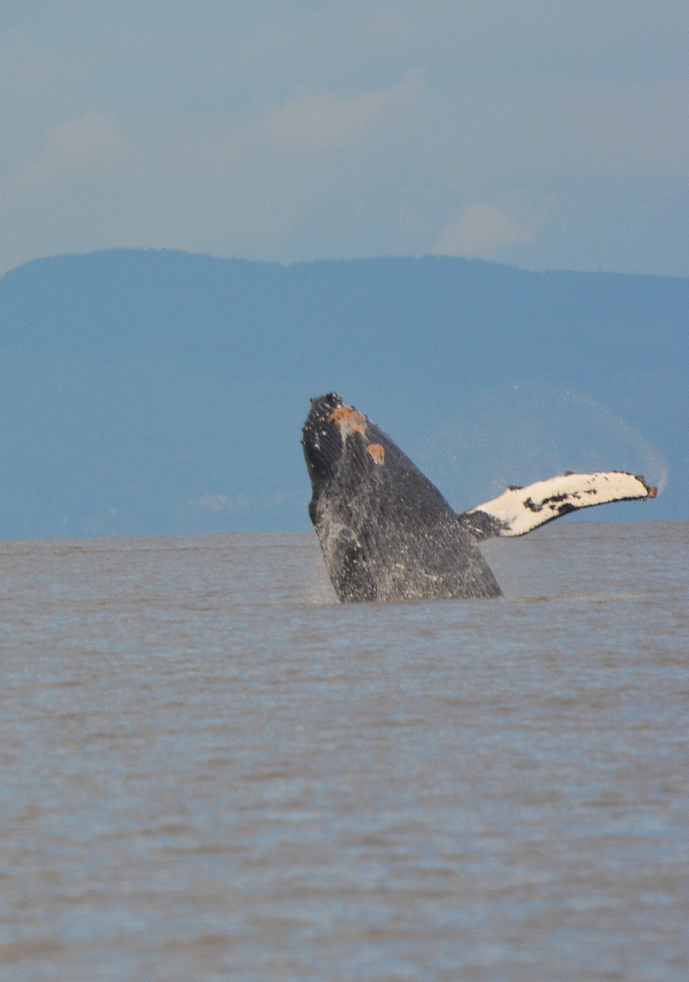 Humpback whale breaching... Notice the orange barnacles and worms covering the throat and flippers! Photo by Alanna Vivani