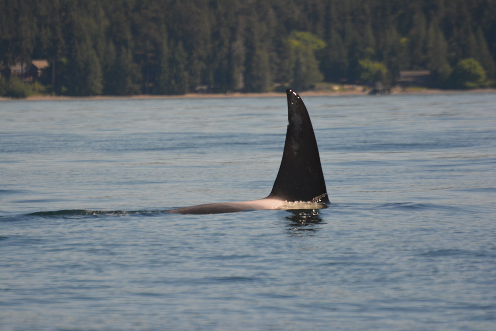Stanley (T123A) showing of his dorsal fin nick and scars. Photo by Alanna Vivani