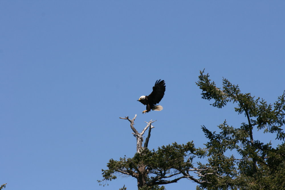 Bald Eagle preparing to land. Photo by James Clyburn