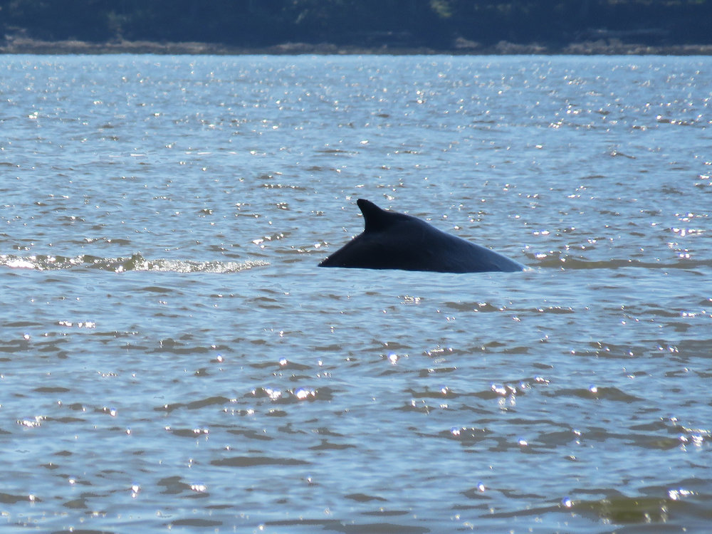 The Humpback whale has a distinctive stubby dorsal fin.Photo by Rodrigo Menezes