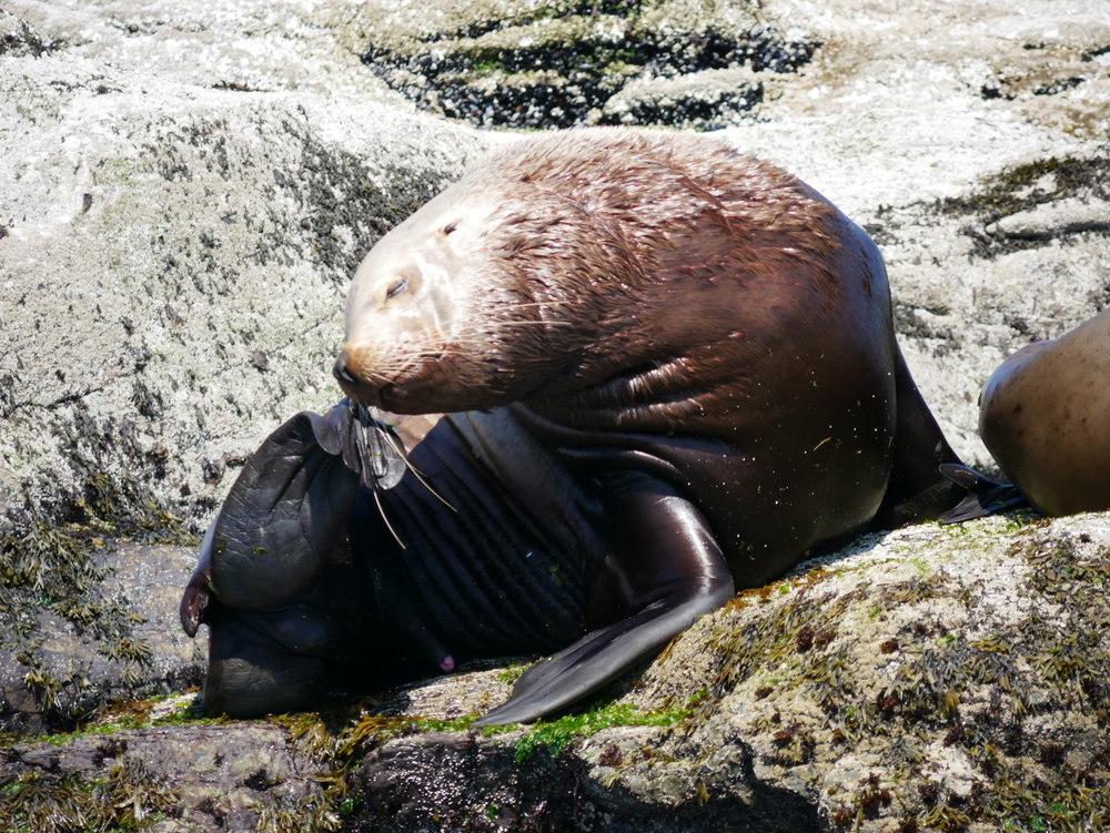 An adult male Steller sea lion scratches his nose while basking on Entrance island under the sun. Photo by Mike Campbell