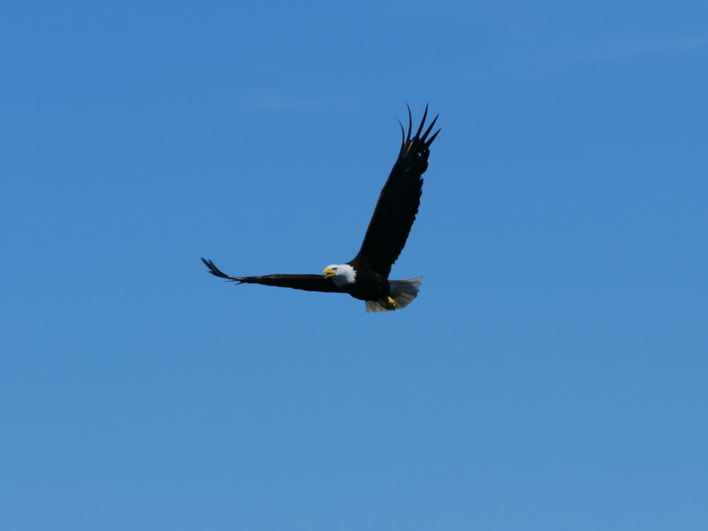 A bald eagle glides above our boat in search of leftovers from the orca's sea lion hunt. Photo by Mike Campbell