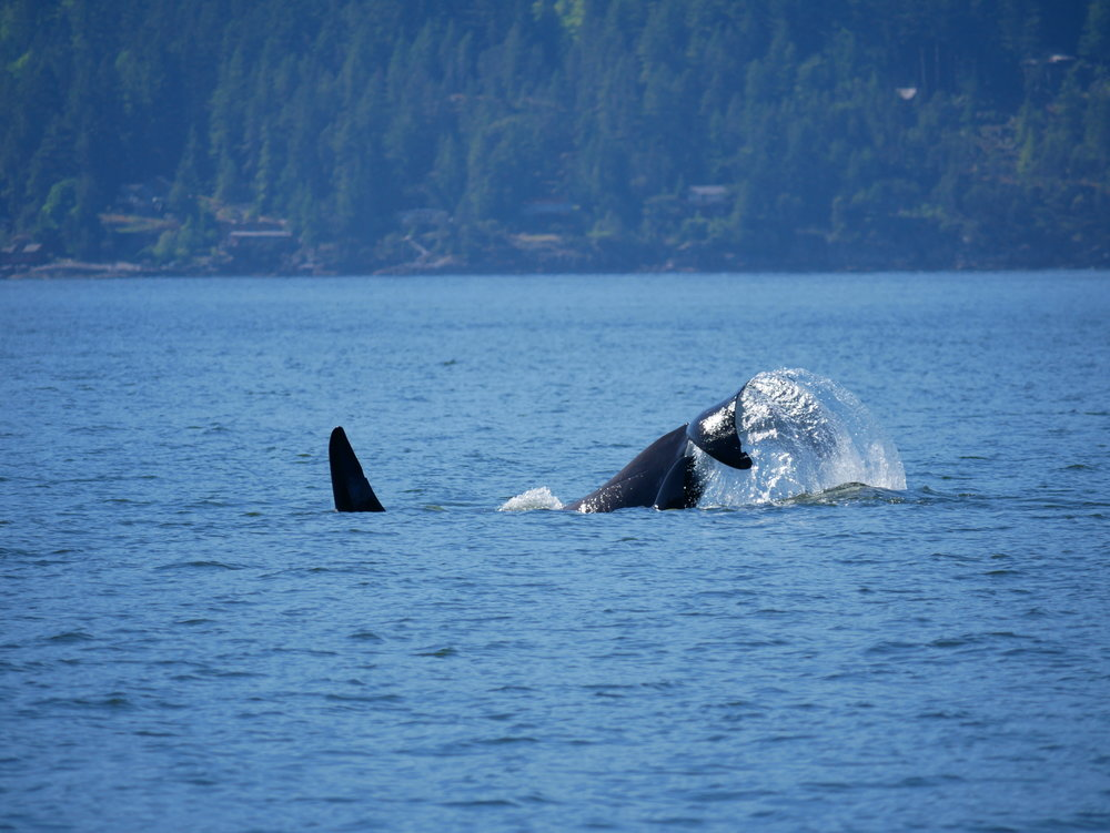 "A male orca known as T123A or ""Stanley"" raises his gigantic fluke out of the water for a few tail slaps at the surface. Photo by Mike Campbell"