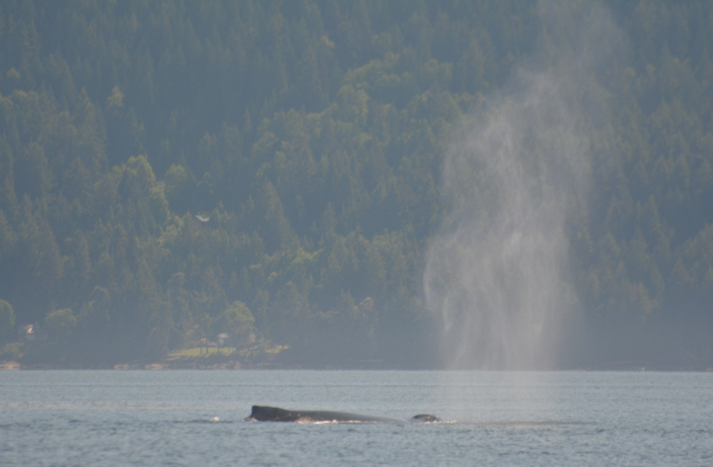 When a humpback whale surfaces to breathe, it produces a spout up to 15 feet high! This makes them easy to spot in calm seas. Photo by Alanna Vivanni