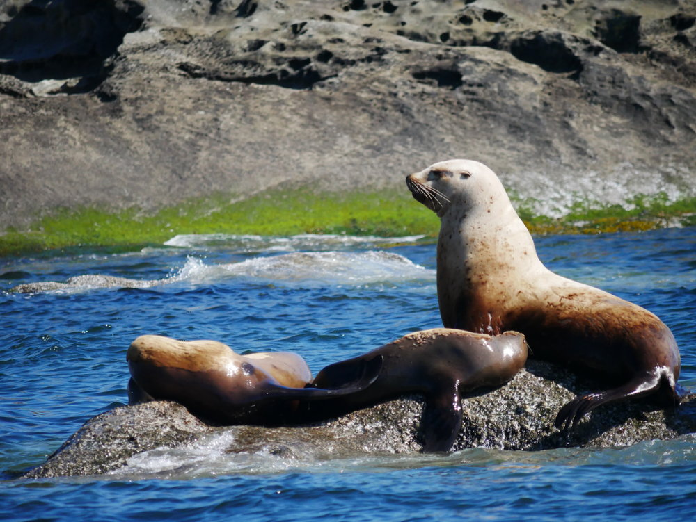 Steller sea lions basking in the sun on a barnacle and seaweed covered rock. Photo by Val Watson.