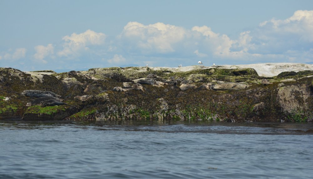 See any animals here? Look closely, this intertidal zone is covered with well camouflaged harbour seals. Photo by Alanna Vivani.