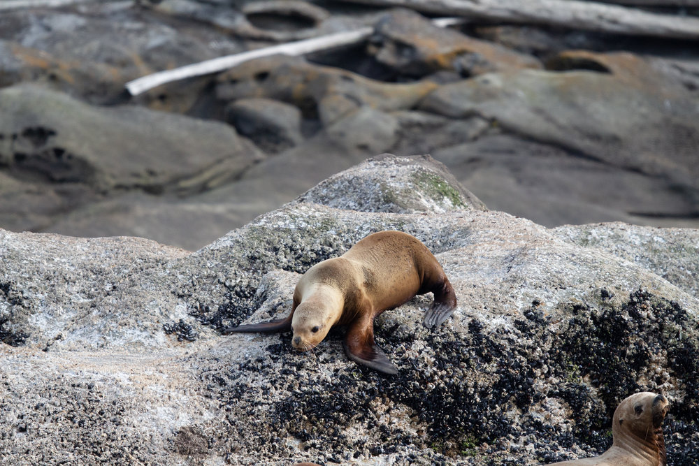 A steller sea lion clambering over a barnacle covered haul out.Photo by Natalie Reichenbacher