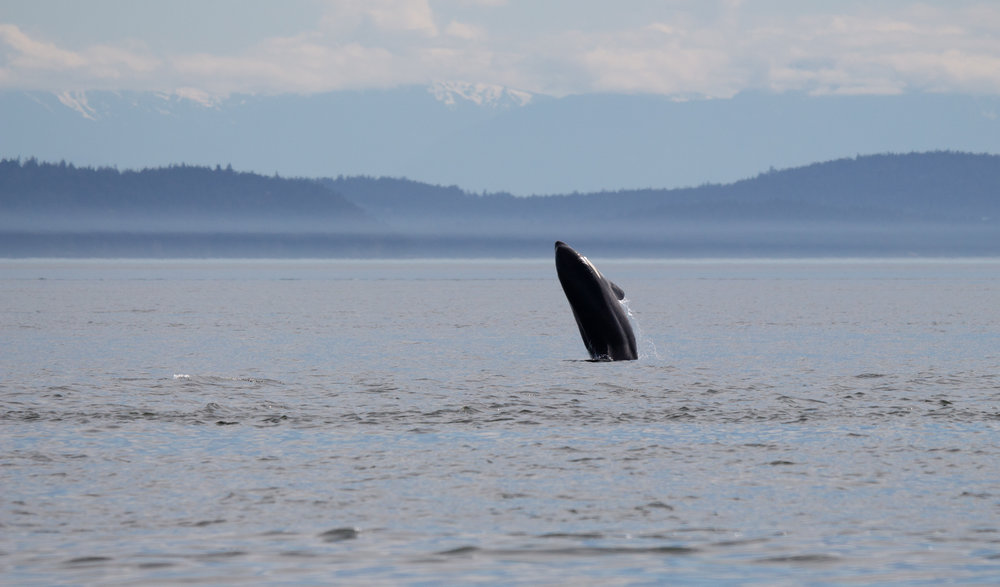 A juvenile orca breached at least three times for us! Photo by Natalie Reichenbacher