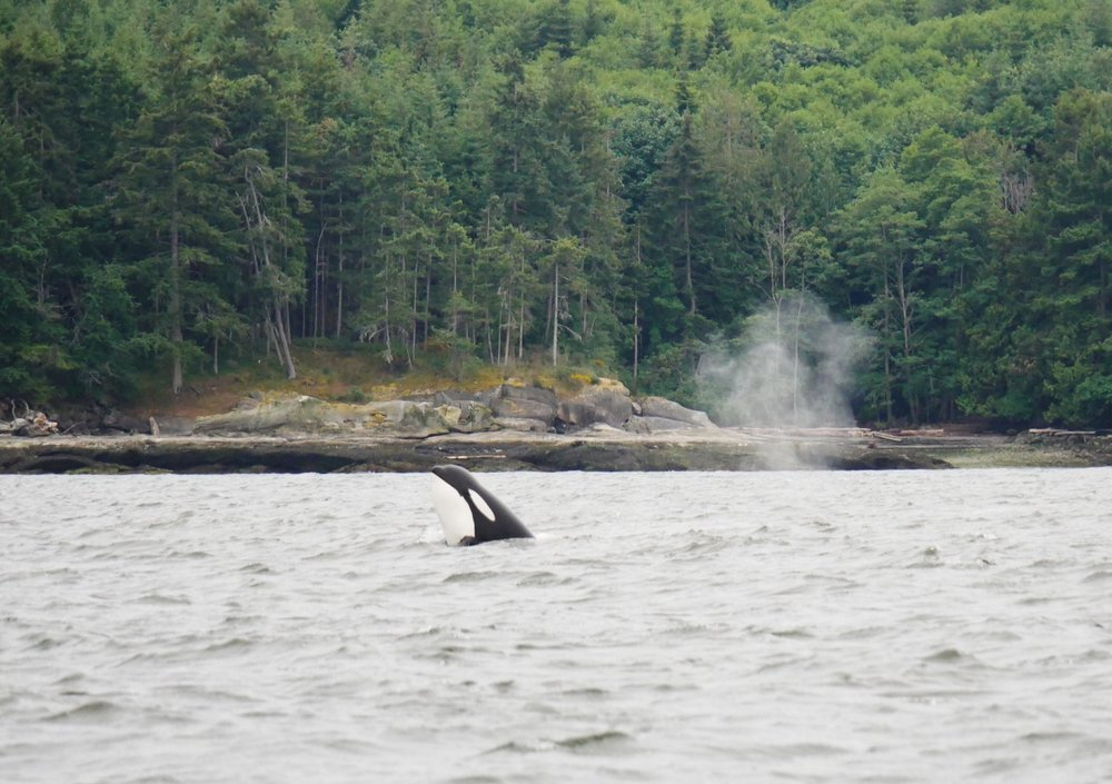 An orca does a spyhop on a cloudy Sunday. Photo by Val Watson