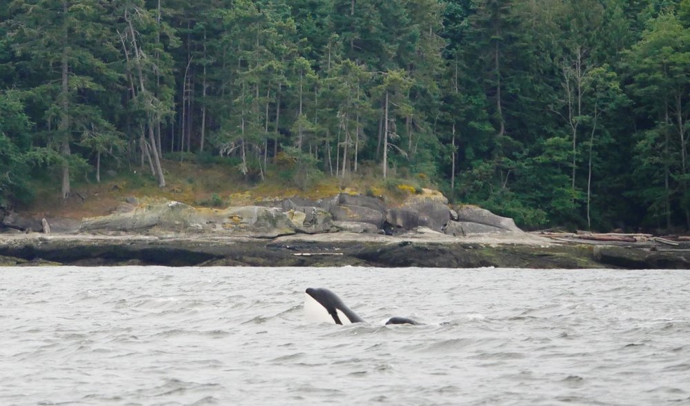 Look right behind the adult orca and you'll see a young whale peeking its head above the water as well! Photo by Val Watson