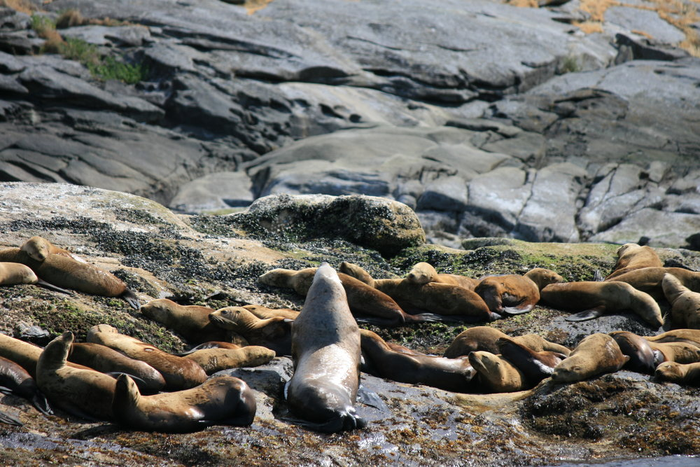 Large Male Steller Sea Lion (center) surrounded by females at the haul-out site on Entrance Island. Photo by James Clyburn.