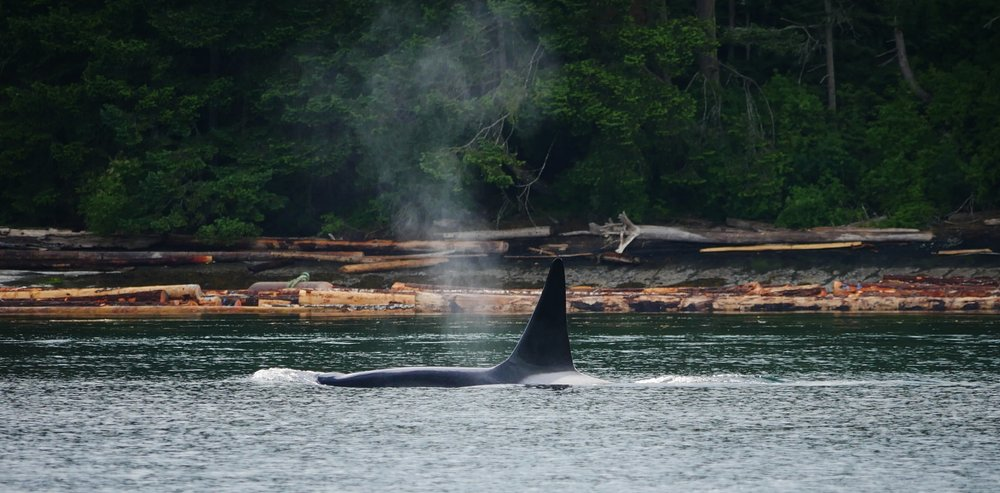 """T77B """"The Church"""" investigating log booms just outside of Nanaimo harbour.Photo by Alanna Vivani."""