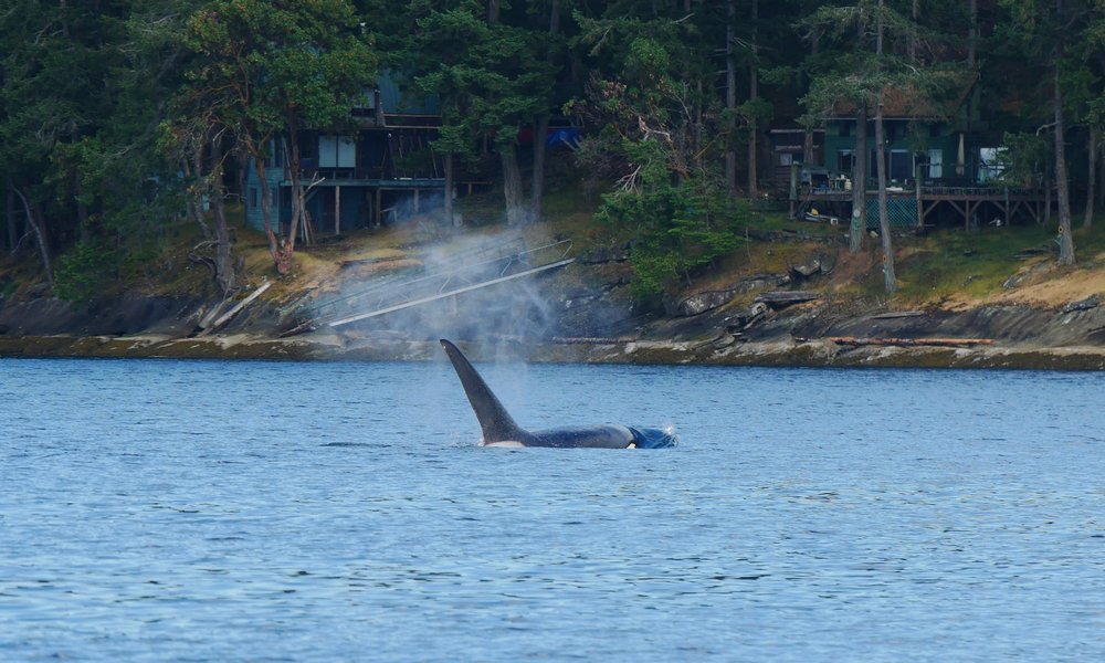 This whale's fin is still growing!Photo by Alanna Vivani.