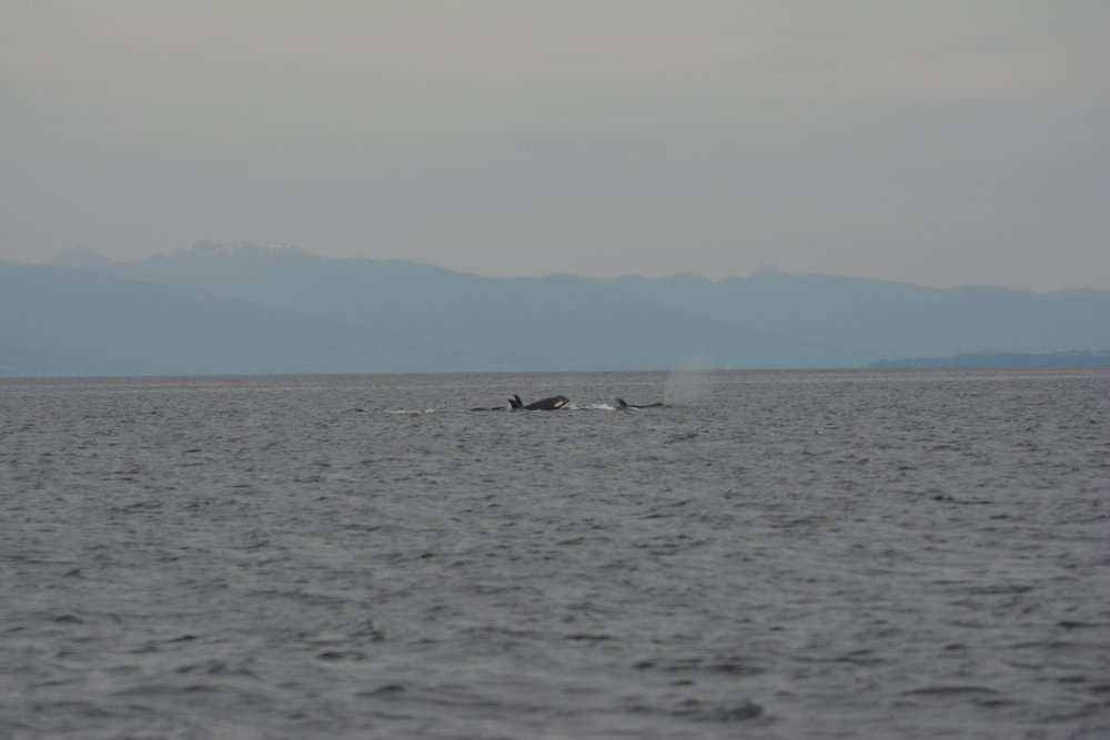 Group of Orca off of Entrance Island travelling in their family group. Photo by Val Watson.