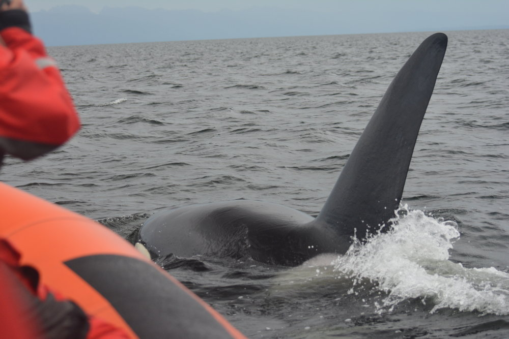 Noah (T49A1) surfacing just feet away from the vessel much to our surprise! Photo by Val Watson