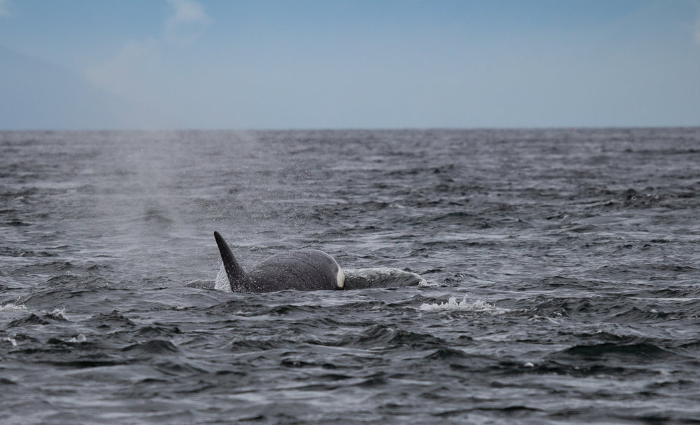 The whales swam through some turbulent waters in Porlier Pass! Photo by Natalie Reichenbacher