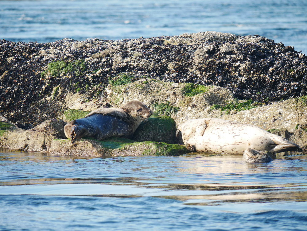 A few lazy seals hauled out on a rock. One is giving us an unconcerned look over the shoulder. Photo by Val Watson.