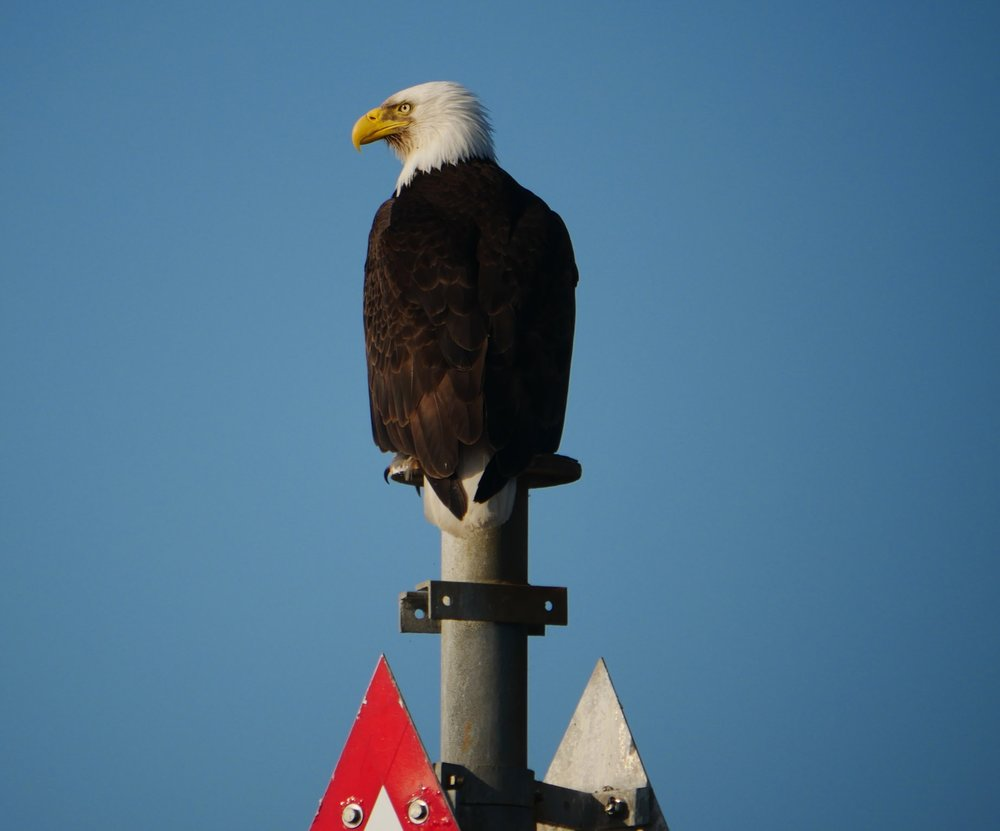 A Bald Eagles perched on top of a marker on the seal haul-out site. Check out the size of those talons! Photo by Val Watson.