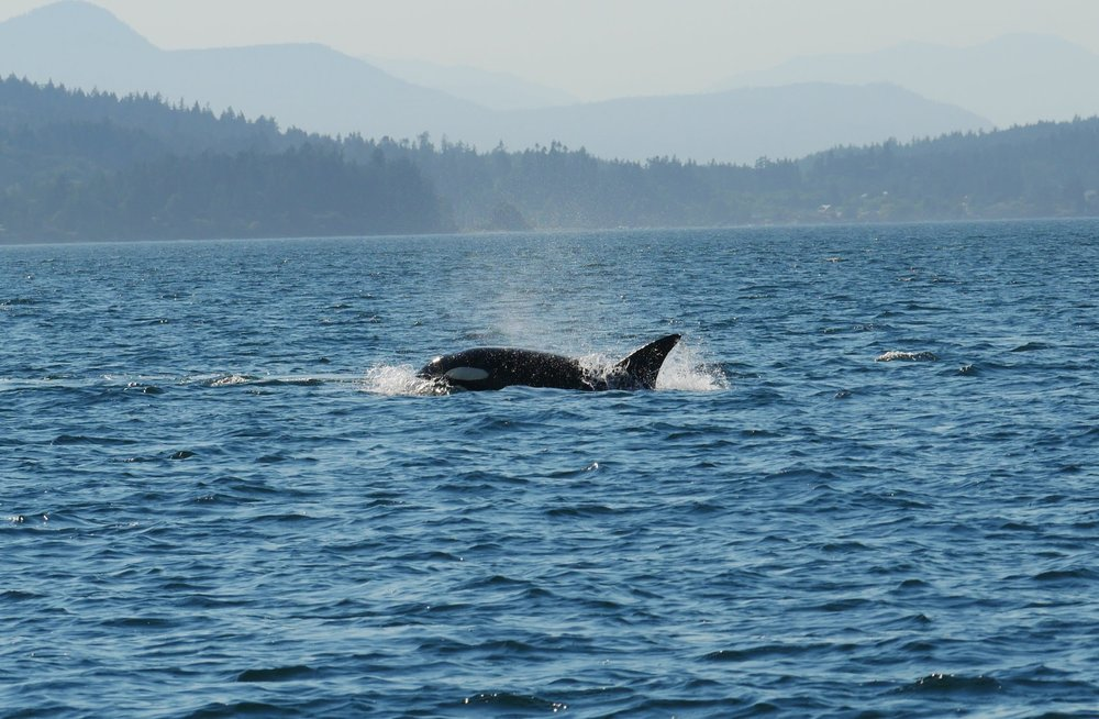 T137B (Tempest) surfacing in the waters of the southern gulf islands. The amount of water being thrown gives an idea of how fast they are going. Photo by Val Watson.