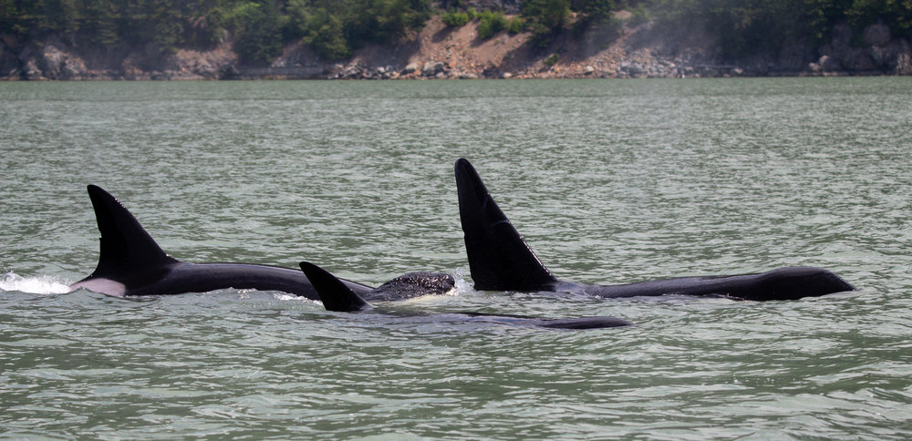 The whole family (T137's) surfacing together. Photo by Natalie Reichenbacher