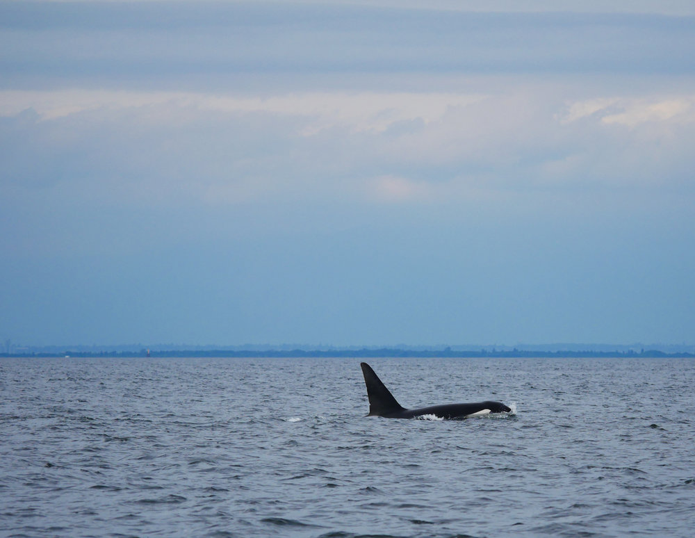"Check out T137A ""Jack's"" dorsal fin. See the two nicks? Photo by Jilann Lechner Campbell"