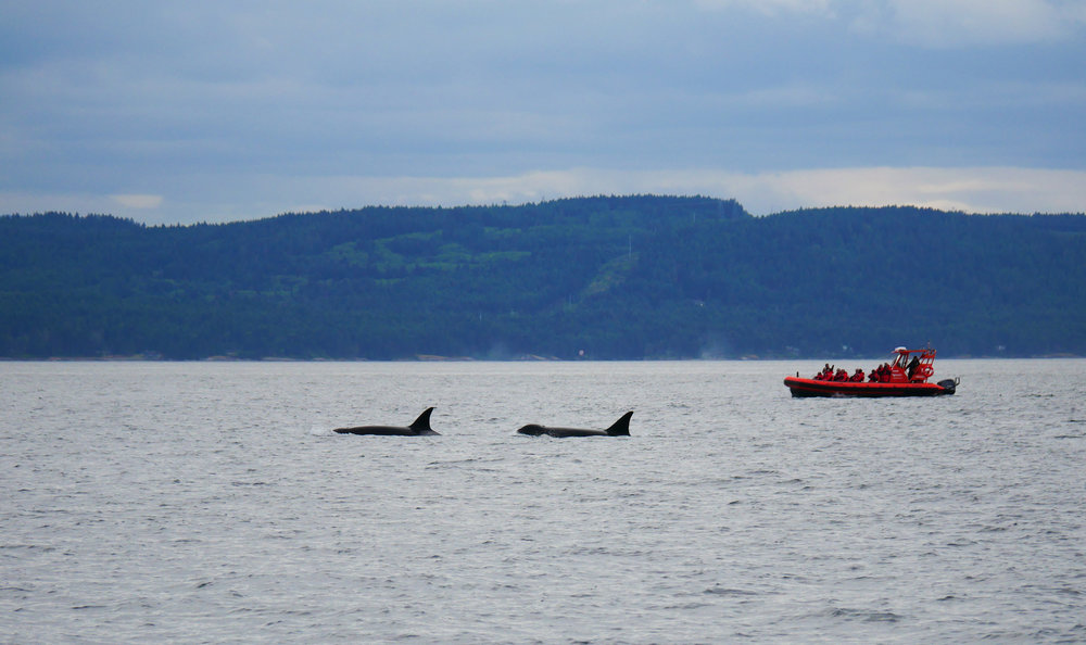 "Our open boat ""Cascadia"" with her engines shut down as the pods of transient ""Bigg's) orca pass by. Photo by Jilann Lechner Campbell"