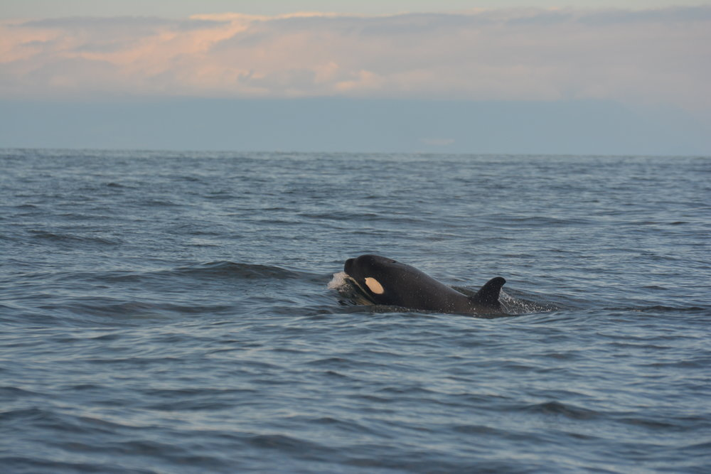 A young whale surfaces in the Strait. Photo by Alanna Vivani