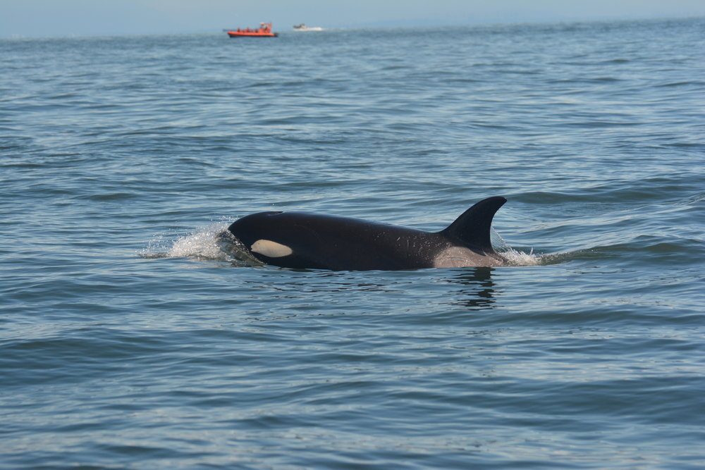 The eye of the orca is right in front of the white eye patch.Photo by Alanna Vivani