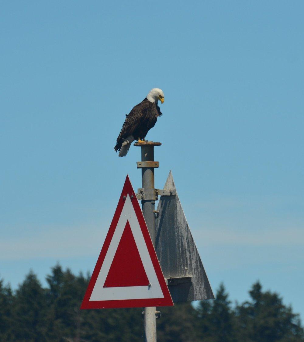 A majestic bald eagle surveys the surrounding waters.Photo by Alanna Vivani