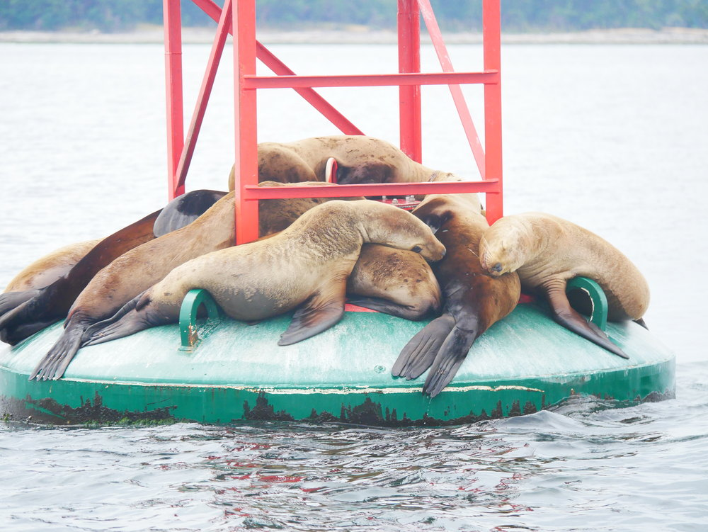 We passed by a handful of sleepy Steller sea lions after leaving the whales. Photo by Alanna Vivani