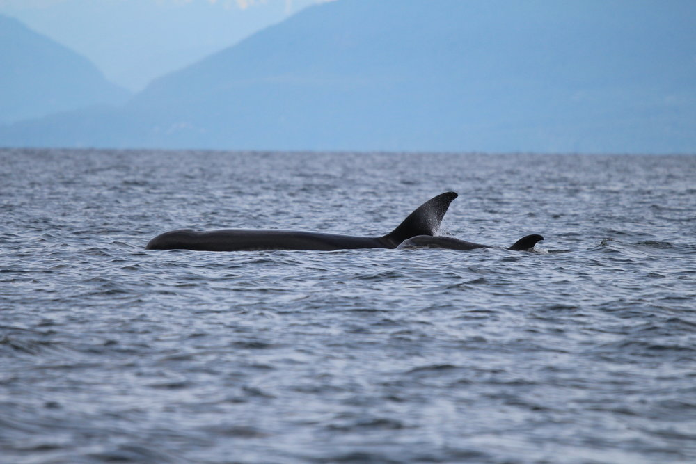 Mother and calf surface together on the afternoon tour. Photo by Natalie Reichenbacher