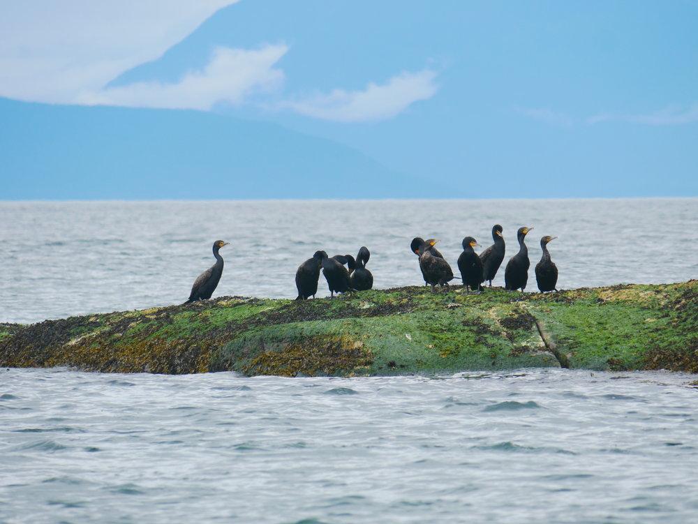 Cormorants preening. Photo by Alanna Vivani