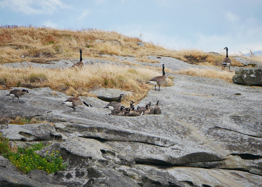 Canadian Geese sitting on the rocks on the shore of Entrance Island. Photo by Val Watson