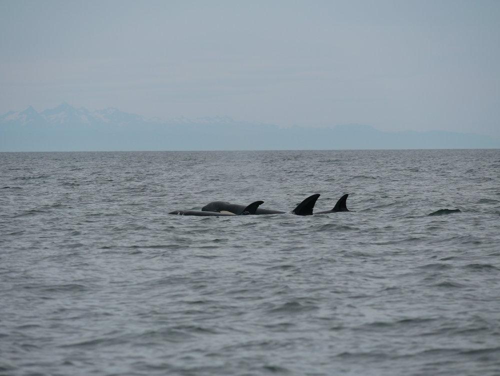 So many whales! Photo by Alanna Vivani