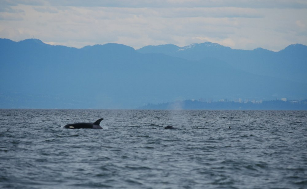 Whales surface with UBC and the coastal mountain range in the background. Photo by Alanna Vivani