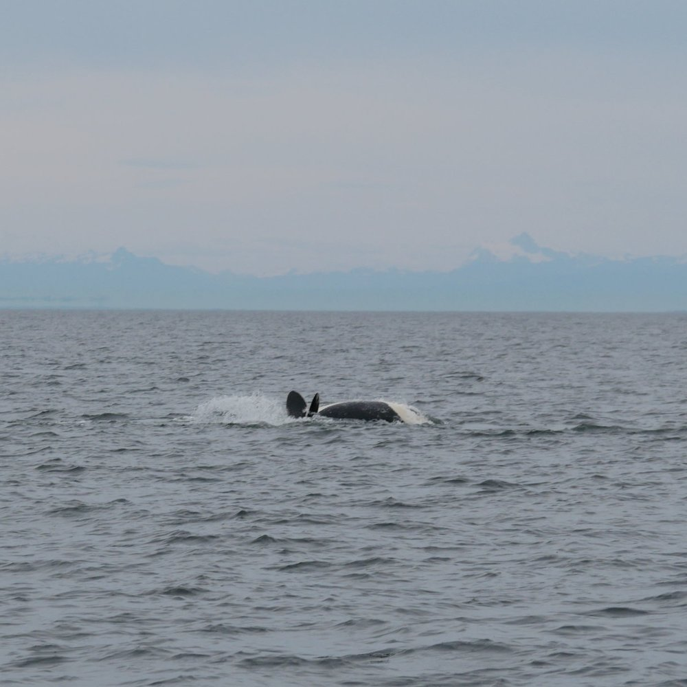 A juvenile orca does a backflop in front of our guests. Photo by Alanna Vivani