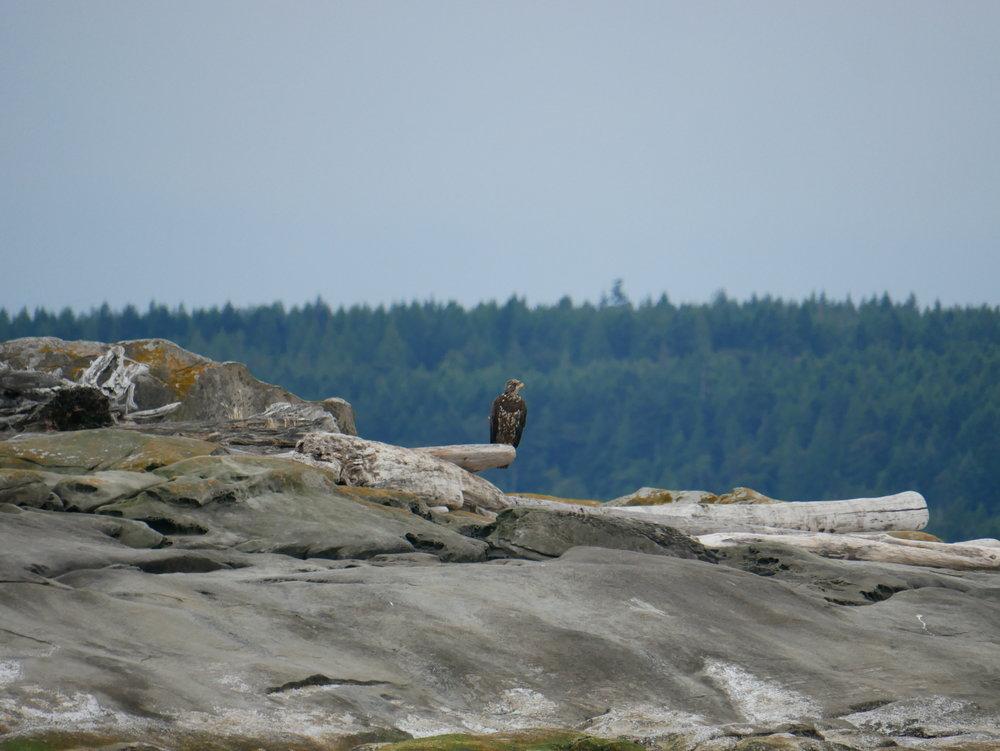 A juvenile bald eagle perches on an abandoned log.Photo by Alanna Vivani
