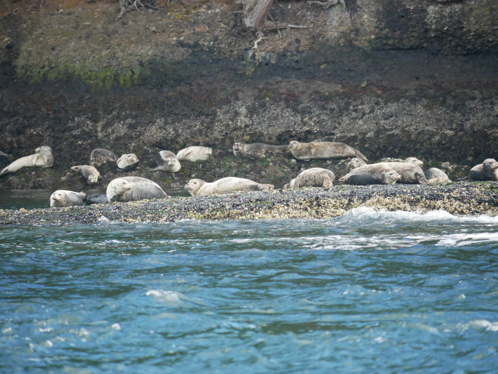 Harbour seals keeping an eye on the tide. Photo by Val Watson