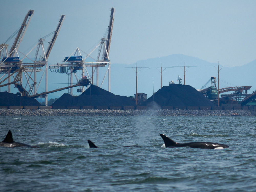 Orcas surfacing just in front of the Vancouver Terminals. Photo by Jenna Keen.