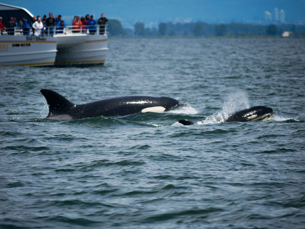 Check out the youngster in the front surfacing! Photo by Jenna Keen.